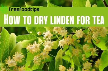 How to dry linden for tea